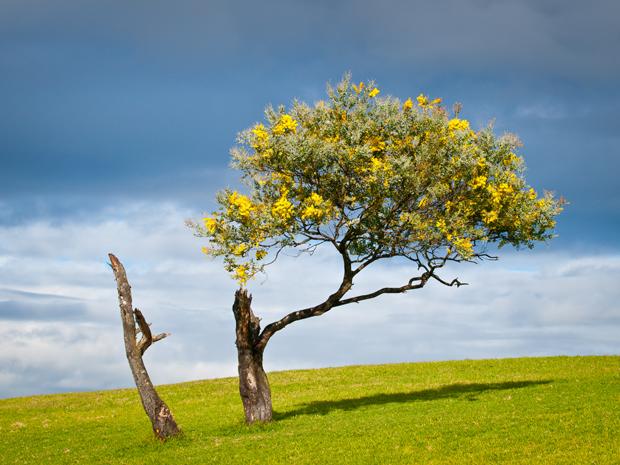 wattle-tree