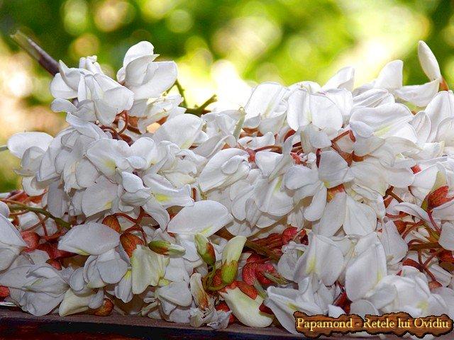 dulceata din flori de salcam 1