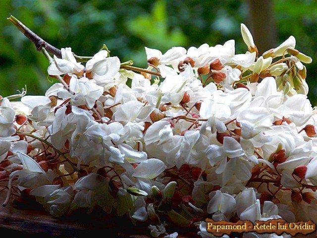gogosi cu flori de salcam 1